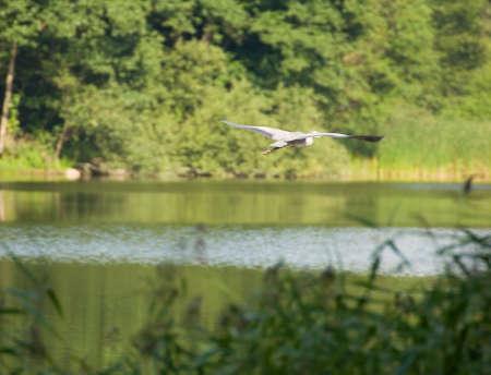 ardea: gray heron