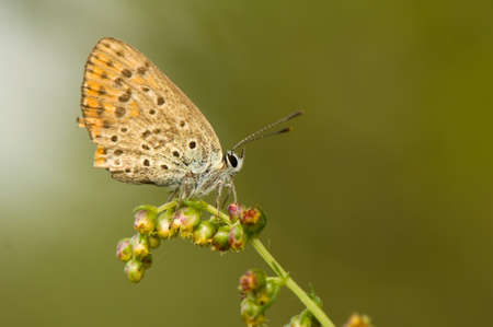 lycaena: Lycaena alciphron