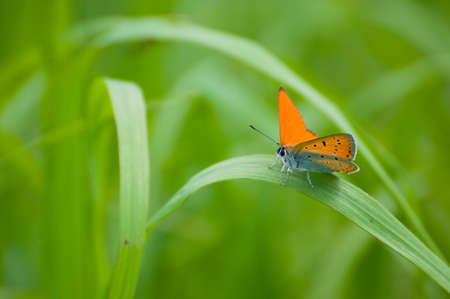 Lycaena virgaureae Stock Photo - 15215403