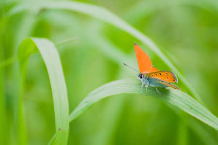 Lycaena virgaureae Stock Photo - 15215405