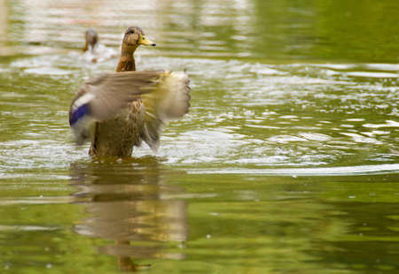 Mallard, mallard duck, Anas platyrhynchos photo