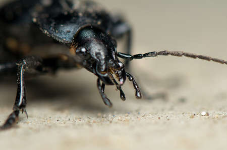 carabid: Carabus glabratus Stock Photo
