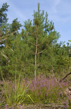 Pine and heather photo