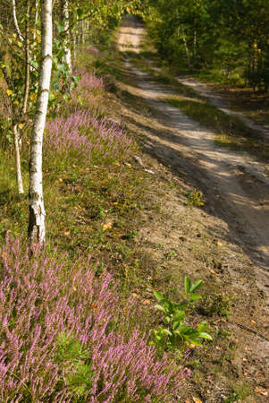 way through the forest in early autumn - heathers Stock Photo - 15495359