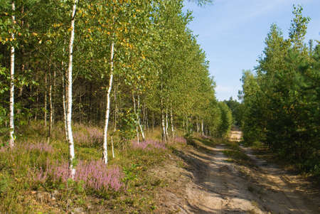way through the forest in early autumn - heathers Stock Photo - 15495362
