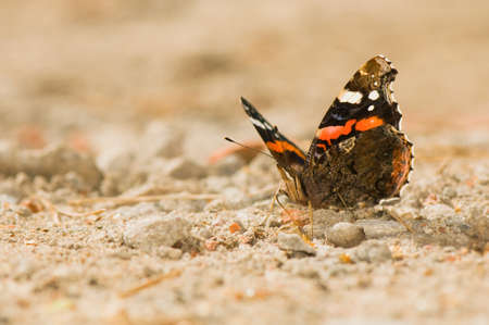 Red Admiral - Vanessa atalanta photo