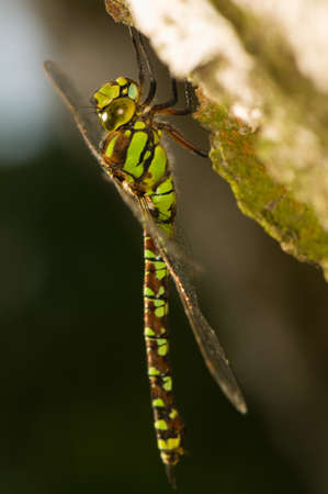 Aeshna cyanea photo