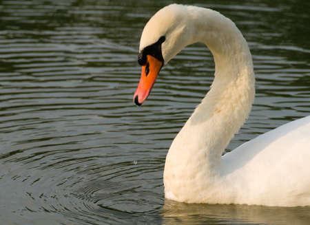 majesty: Swan - Cygnus olor