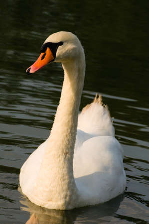 Swan - Cygnus olor photo