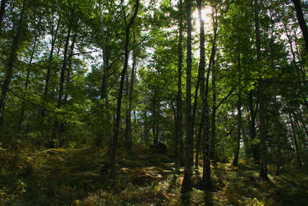 softwood: Forest