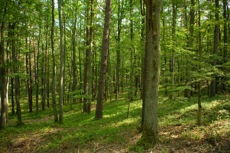 Pine forest Stock Photo - 15329859