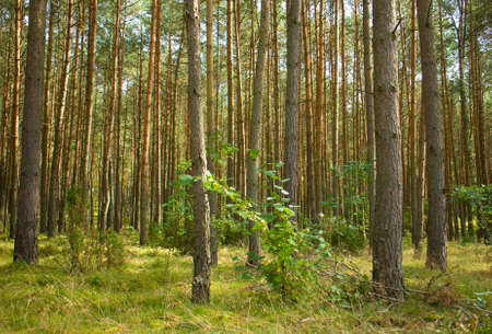 Pine forest Stock Photo - 15329856