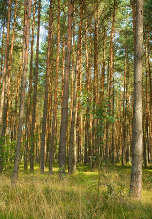 Pine forest photo