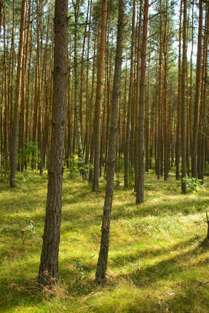 Pine forest Stock Photo - 15329857