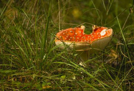 Amanita muscaria photo