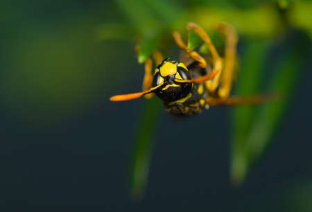 Wasp insect Stock Photo - 15468232