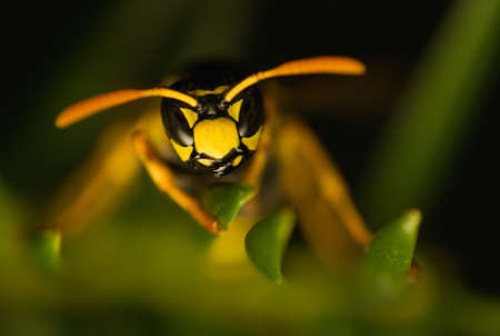 Wasp insect Stock Photo - 15468233