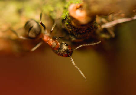 Ant - formica Stock Photo - 15639246