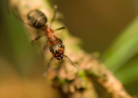Ant - formica Stock Photo - 15639251