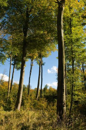 twing: Autumn beech forest