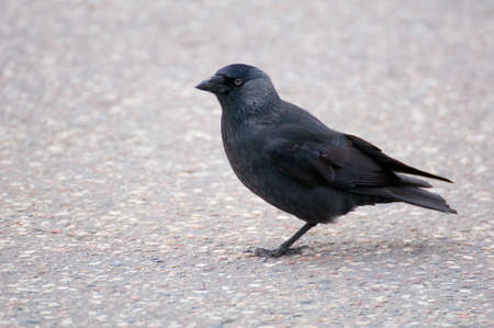 Jackdaw - Coloeus monedula Stock Photo - 15796956