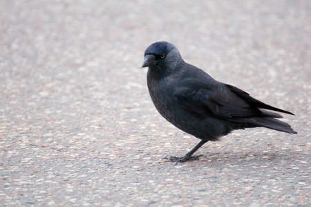 Jackdaw - Coloeus monedula photo