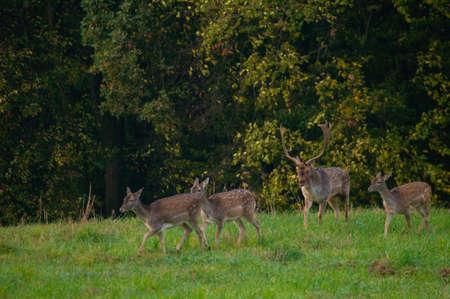 fallow deer: Fallow deer - dama dama