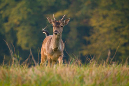 Fallow deer - dama dama photo