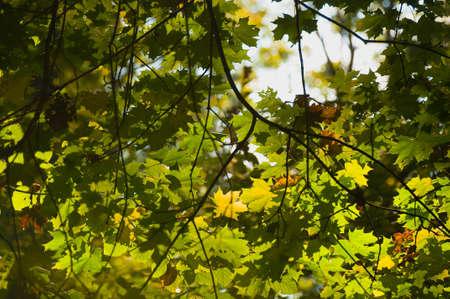 プラタナス: Autumn sycamore