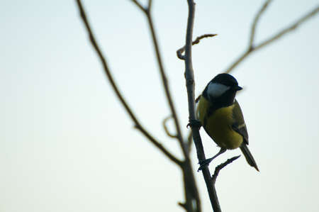 tom tit: Parus major