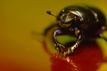 Manure beetle, beetle lout, beetle forest - Geotrupes stercorarius Stock Photo - 15979442