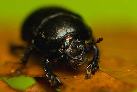 Manure beetle, beetle lout, beetle forest - Geotrupes stercorarius Stock Photo - 15979396