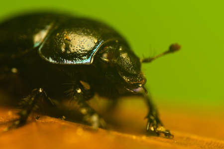 Manure beetle, beetle lout, beetle forest - Geotrupes stercorarius Stock Photo - 15979151