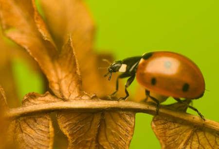 septempunctata: Seven-ladybird - Coccinella septempunctata