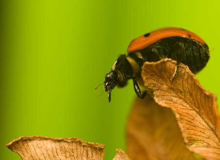 coccinella: Seven-ladybird - Coccinella septempunctata