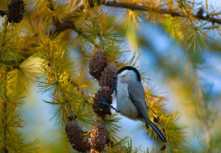 Blackface ordinary, Black-tit, Blackface, Blackface tit - Poecile montanus photo