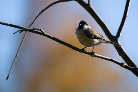 tom tit: Blackface ordinary, Black-tit, Blackface, Blackface tit - Poecile montanus