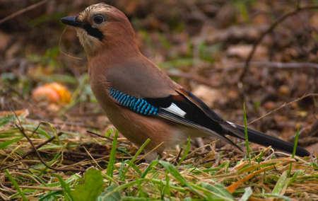 Common Jay, Jay - Garrulus glandarius Stock Photo - 15979460