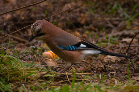 Common Jay, Jay - Garrulus glandarius Stock Photo - 15979474
