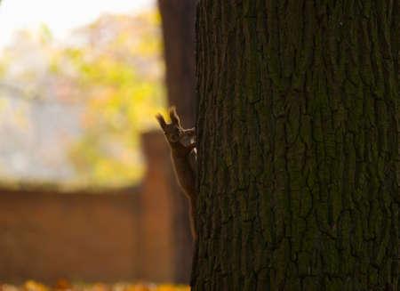 Red squirrel - Sciurus vulgaris Stock Photo - 16005721