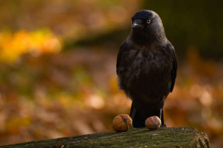 coloeus: Jackdaw - Coloeus monedula