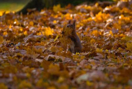 Red squirrel - Sciurus vulgaris photo