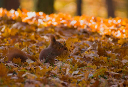 Red squirrel - Sciurus vulgaris Stock Photo - 16005824