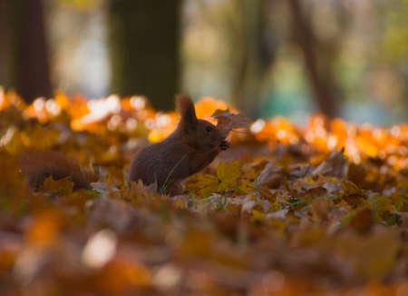 Red squirrel - Sciurus vulgaris Stock Photo - 16005697