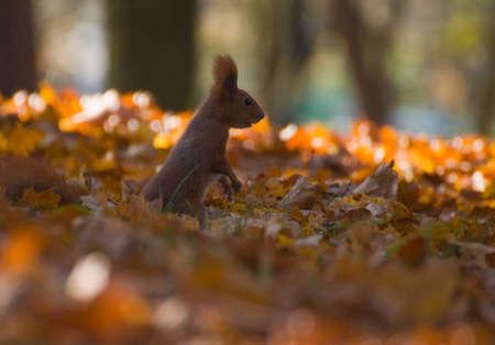 Red squirrel - Sciurus vulgaris Stock Photo - 16005662