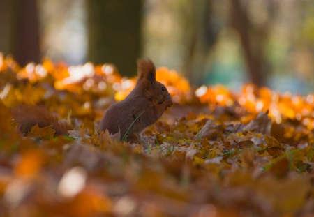 Red squirrel - Sciurus vulgaris Stock Photo - 16005685