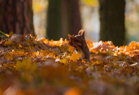 Red squirrel - Sciurus vulgaris Stock Photo - 16005699