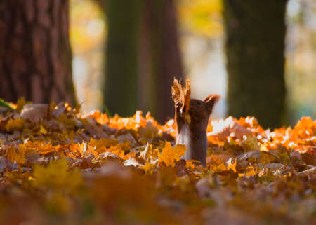 Red squirrel - Sciurus vulgaris Stock Photo - 16005725
