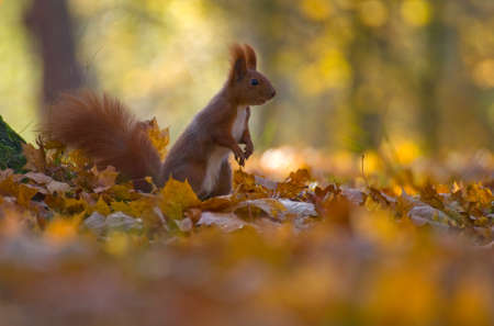Red squirrel - Sciurus vulgaris Stock Photo - 16005793