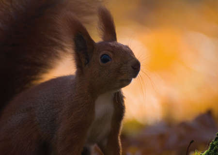 Red squirrel - Sciurus vulgaris Stock Photo - 16005811